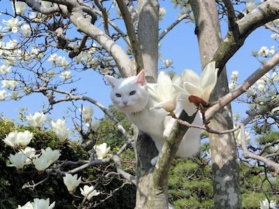白猫と木蓮