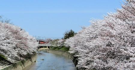 曽我川の桜