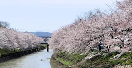 曽我川の桜2