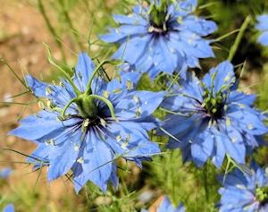ニゲラの花と実