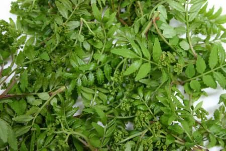 採れたて旬鮮の「木の芽(キノメ)」