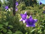 向島百花園の桔梗