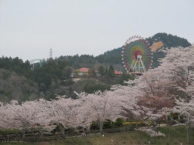 恵那峡の桜1