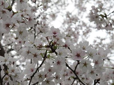 恵那峡の桜2
