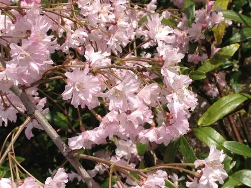 東中里公園の桜