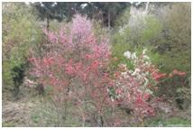 0101山桜