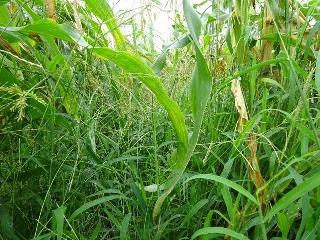 トウモロコシと野草下から