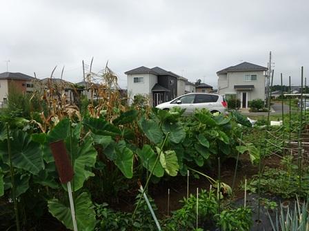 駒畠さんの畑2