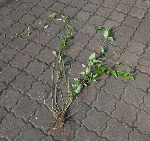 へくそ蔓の根