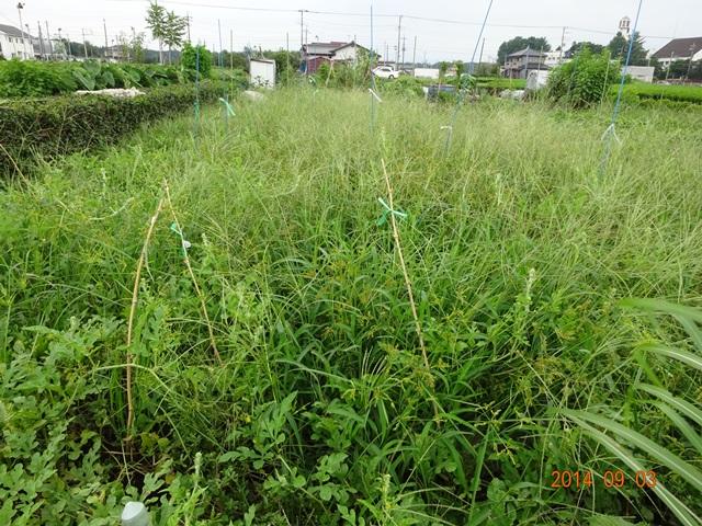 スイカ畑は野草で埋もれている