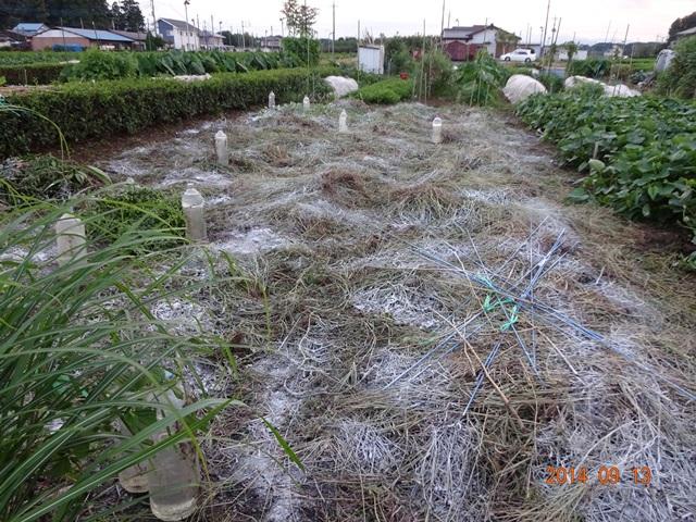 草取り終了したスイカ畑-苦土石灰散布