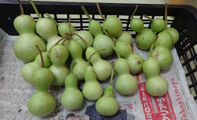 千成ヒョウタンの収穫