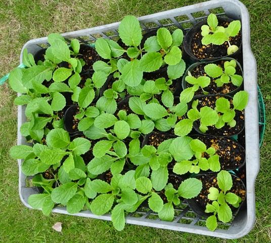 白菜の育苗