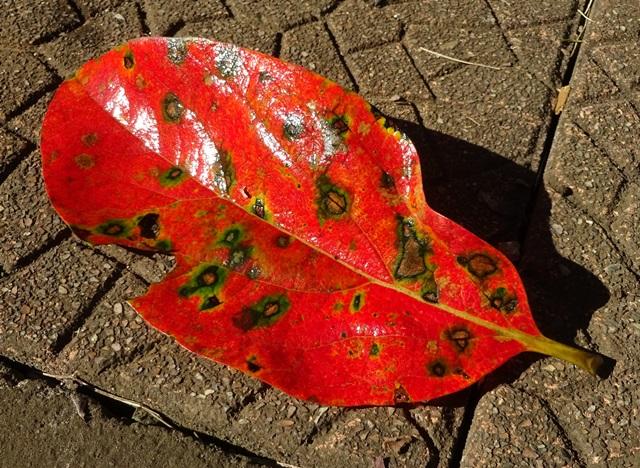 柿の紅葉1