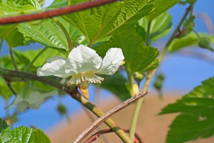 木いちごの花 1