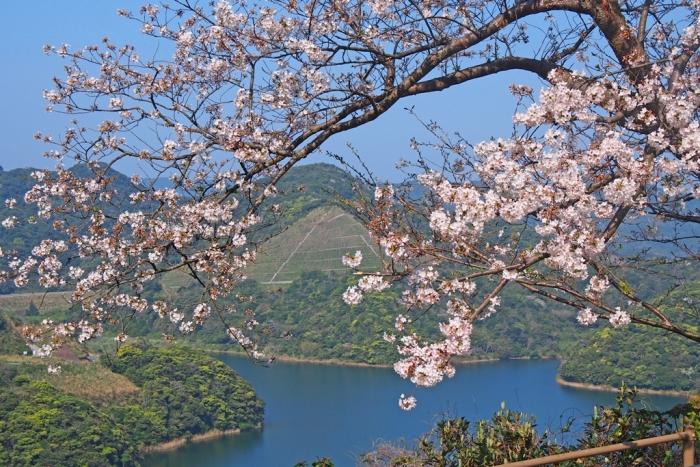 桜の風景 鍬崎池