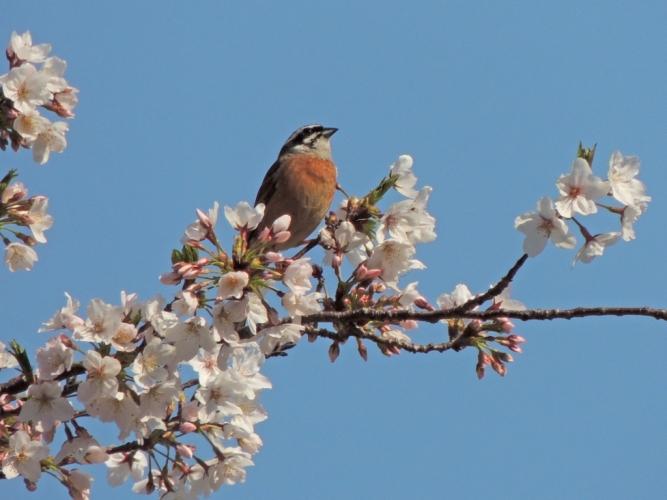 桜にホオジロ