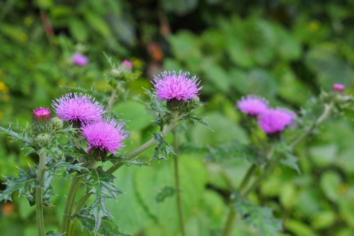 野の花 アザミ