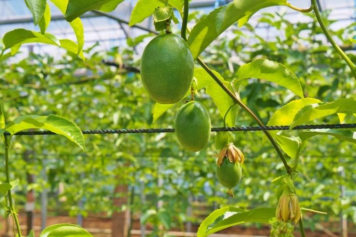 パッシヨンフルーツ 2