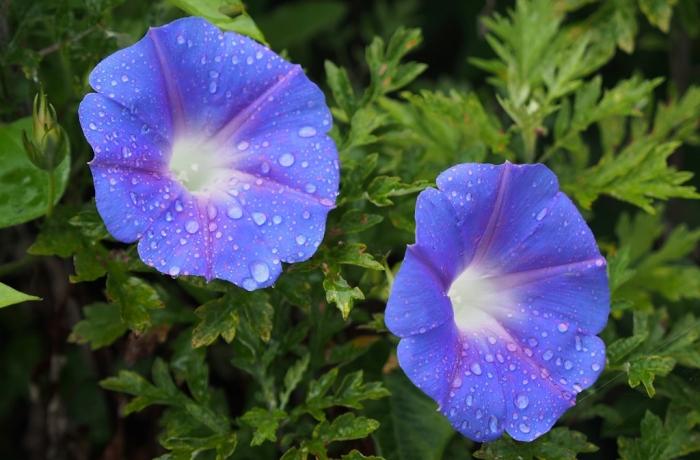 野の花 アサガオ