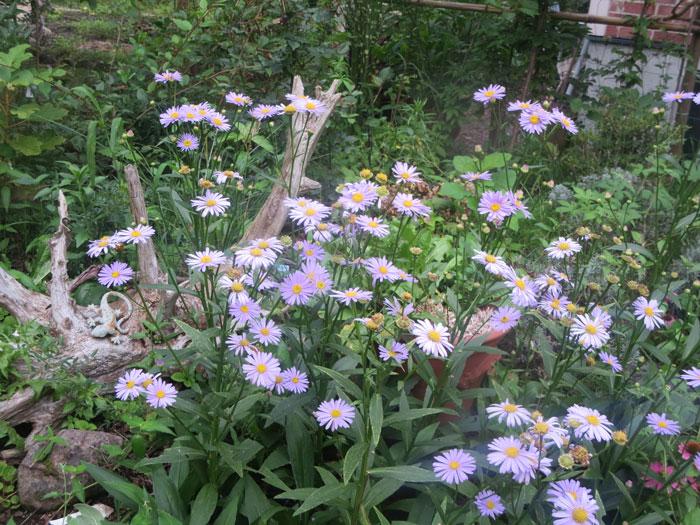 daisy20140821.jpg