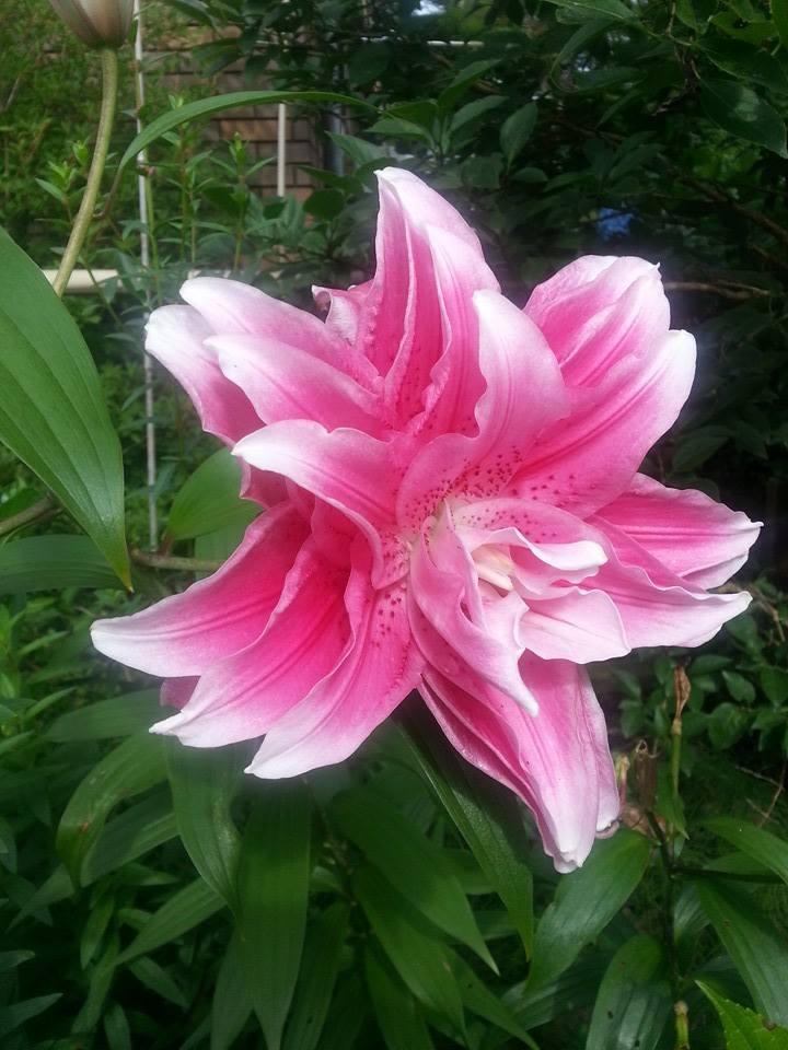 lily20140816.jpg
