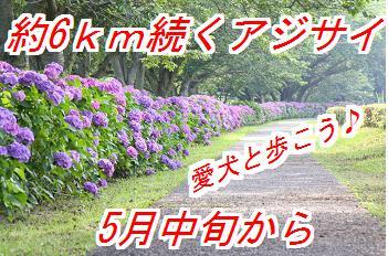 ajisai_20140415014047668.jpg