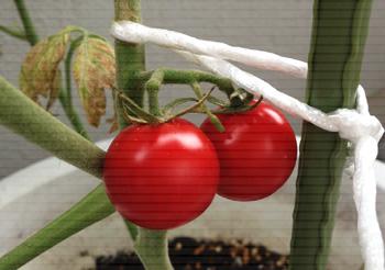 tomato0718c.jpg