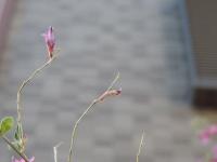 シジミチョウの幼虫