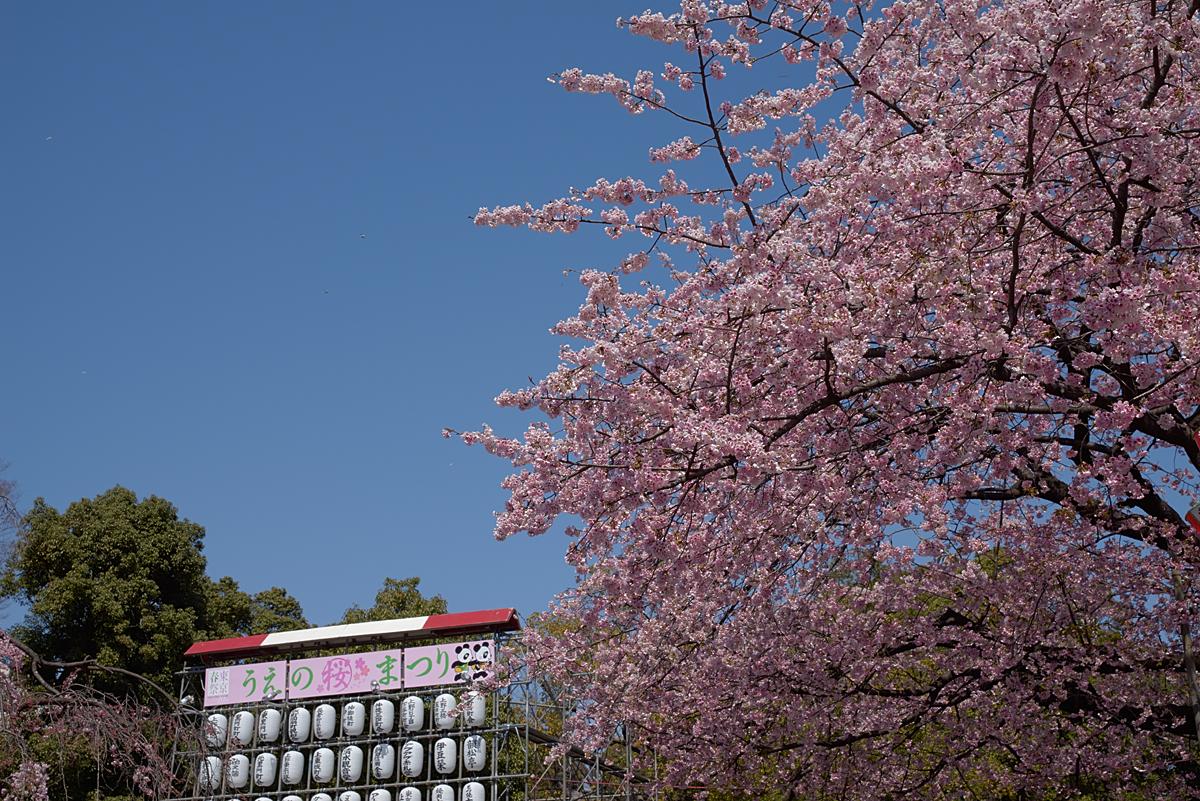 上野公園は大寒桜が満開