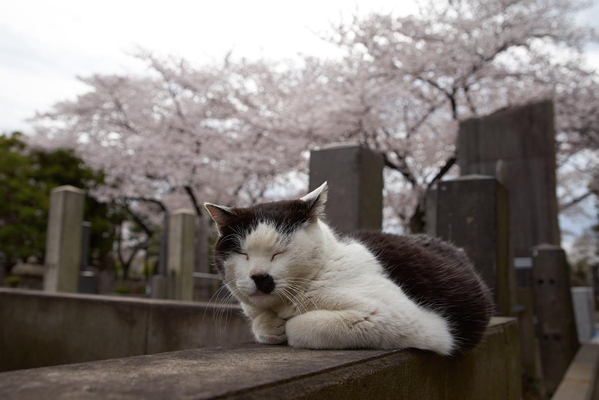 人懐こい谷中霊園の猫