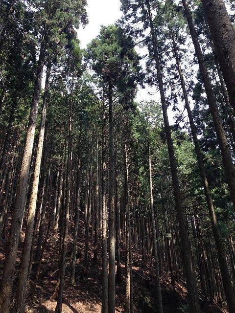 IMG_0537周辺の杉木立です