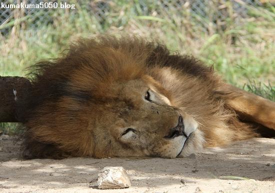ライオン_840