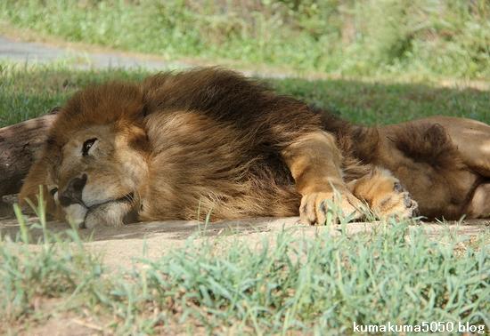 ライオン_842