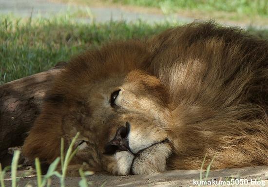 ライオン_845