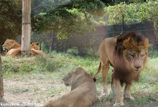 ライオン_848