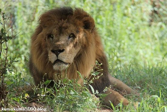 ライオン_851