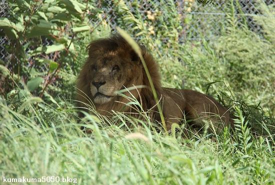 ライオン_853