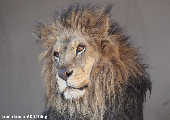 ライオン_868