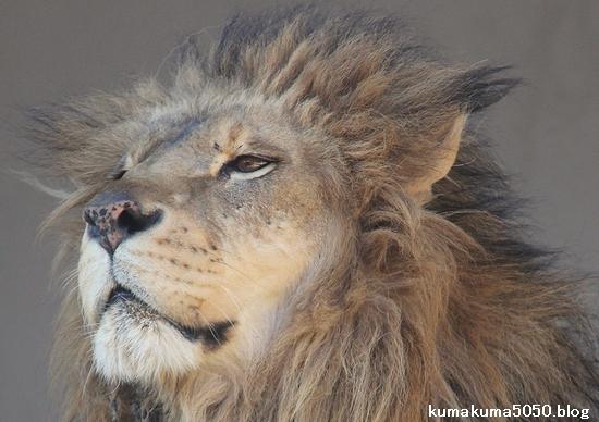 ライオン_874