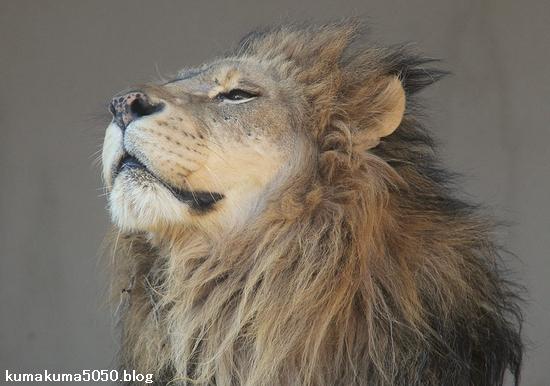 ライオン_875