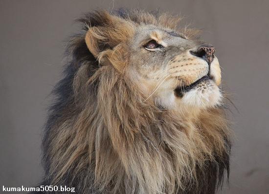 ライオン_884