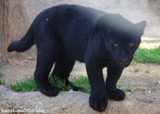 ジャガーの赤ちゃん_7