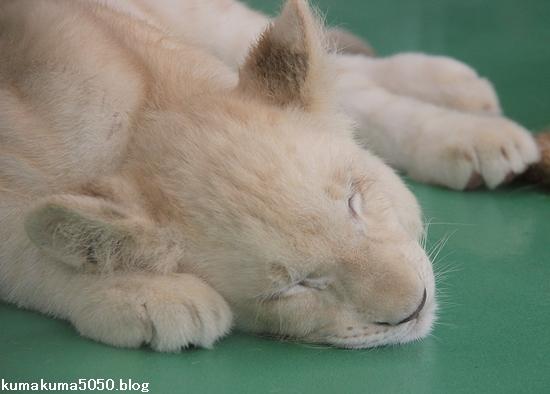 ホワイトライオンの赤ちゃん_37
