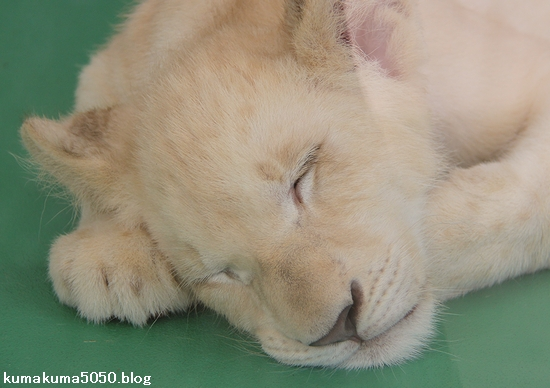 ホワイトライオンの赤ちゃん_38
