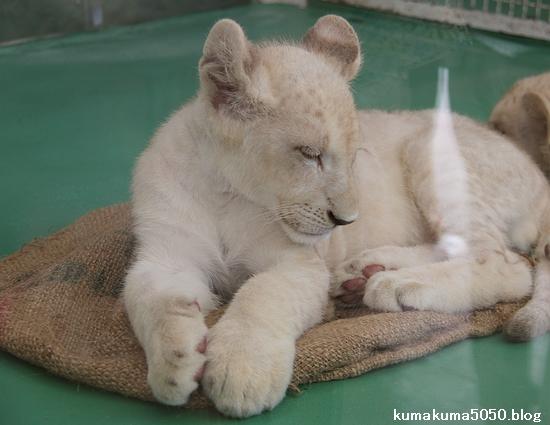 ホワイトライオンの赤ちゃん_39
