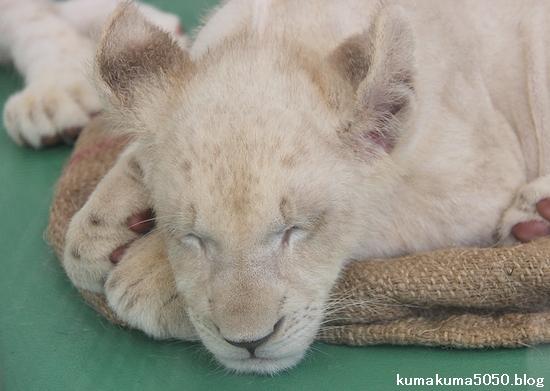 ホワイトライオンの赤ちゃん_42