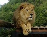 ライオン_894