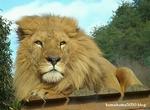 ライオン_896