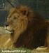ライオン_900